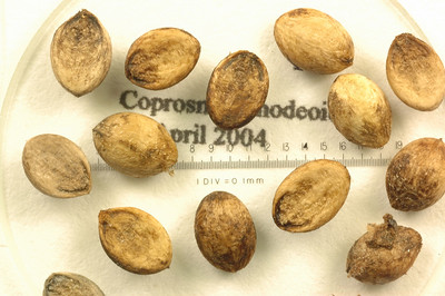 Coprosma ernodeoides