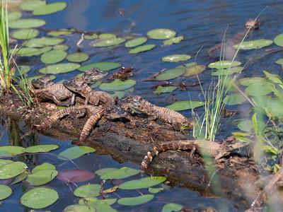 Baby Alligators, 2021