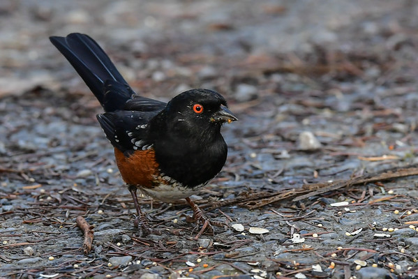 11-19-16 Spotted Towhee - RBS