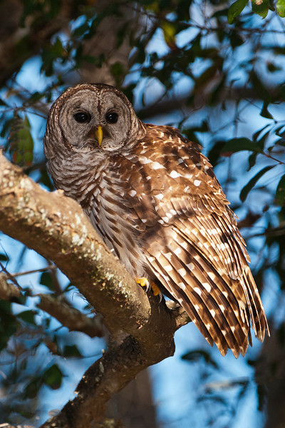 Owl - Barred - Lake Toho - Kissimmee, FL - 02