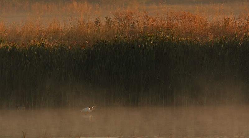 WB~Las Gallinas fog sunrise egret walking1280.jpg