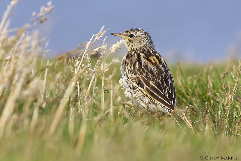 Falkland_Pipit_1.jpg