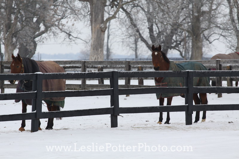 Horses in the Snow Looking Over a Fence