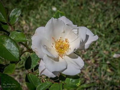 White Rose (new 2019-04)