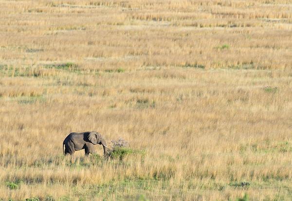 Afrikaanse Olifant; Eléphant d'Afrique; African elephant; Loxodonta africana; Afrikanischer Elefant