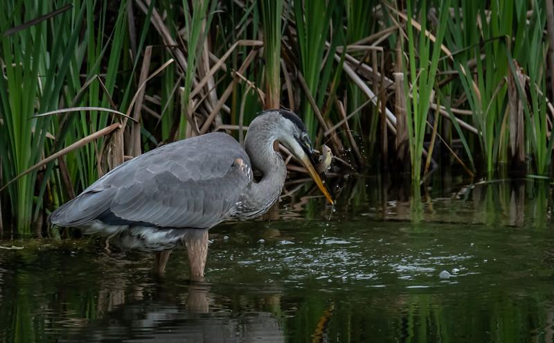 Great Blue Heron fishing 2