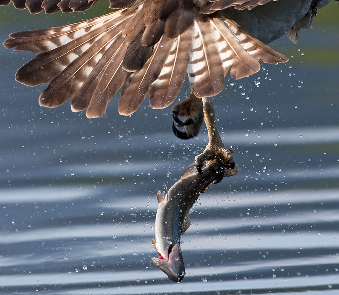 Who needs two talons?  Runner up -  Wild Wonders of Europe photographic competition August 2009