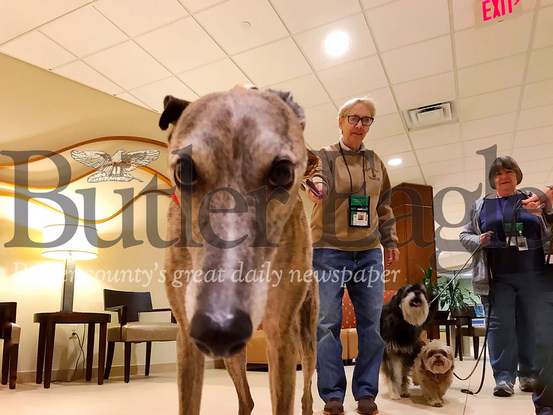 Cheryl Sanson, a member of the Butler Dog Training Association, walks Carl, a greyhound and certified therapy dog, around the lobby of Butler Memorial Hospital.