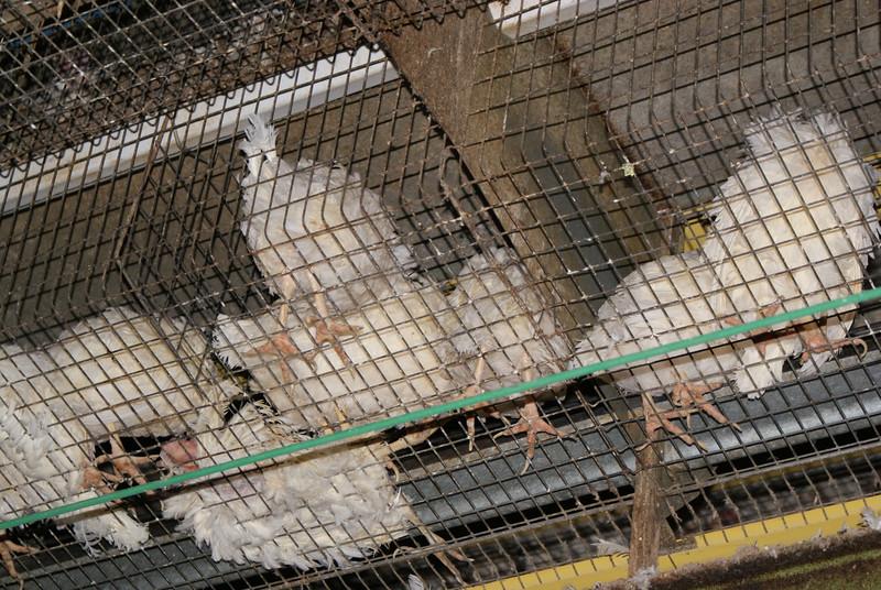 Kingersheim-poules-1.jpeg