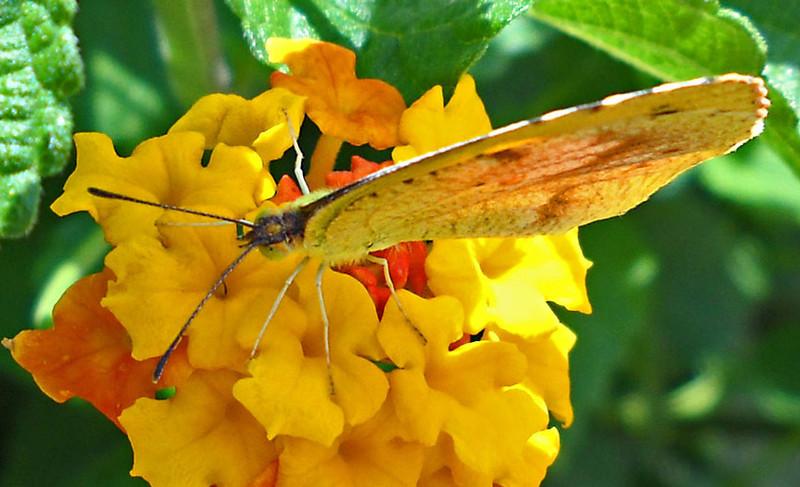 Lantana-Butterfly-2.jpg