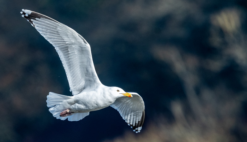 Gull in flight-52.jpg