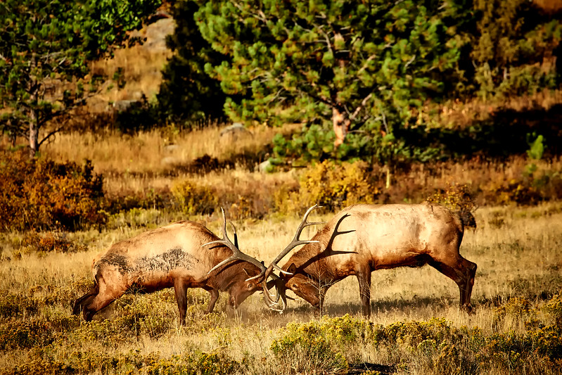 Rocky Mountain 2016: Elk Rut