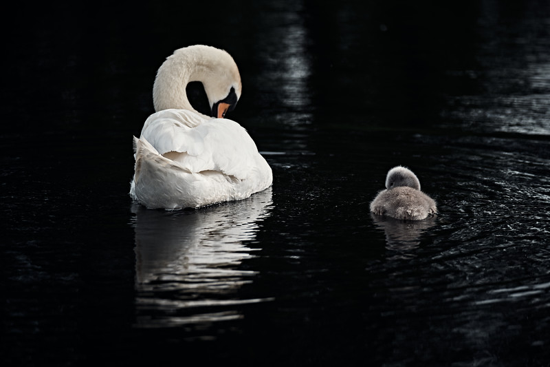 Swans_Of_Castletown017.jpg