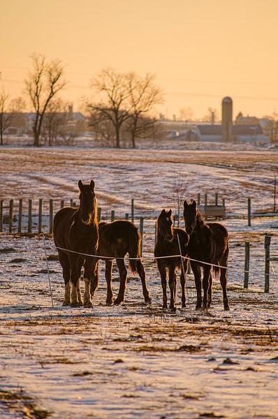 sunset - horse on snow pasture(p, 240).jpg