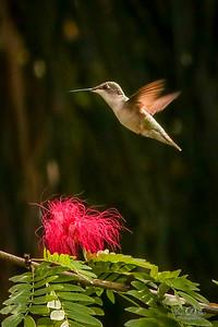 Hummingbirds in Flight 2019