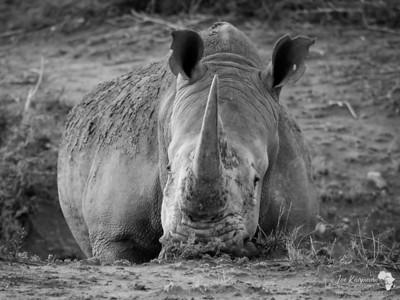 B&W Rhino
