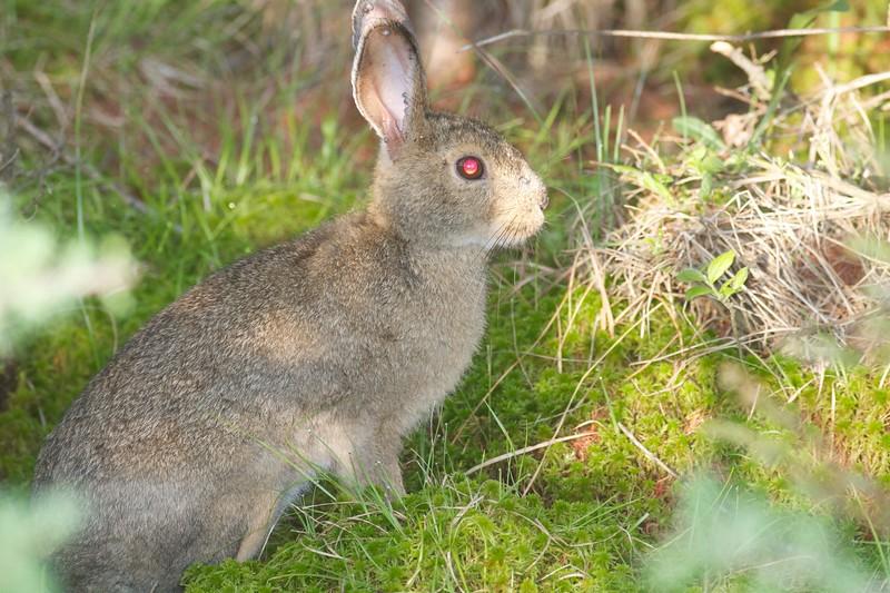 Snowshoe Hare Yellow-bellied Bog Peary Rd Sax-Zim Bog MN IMG_4787.jpg