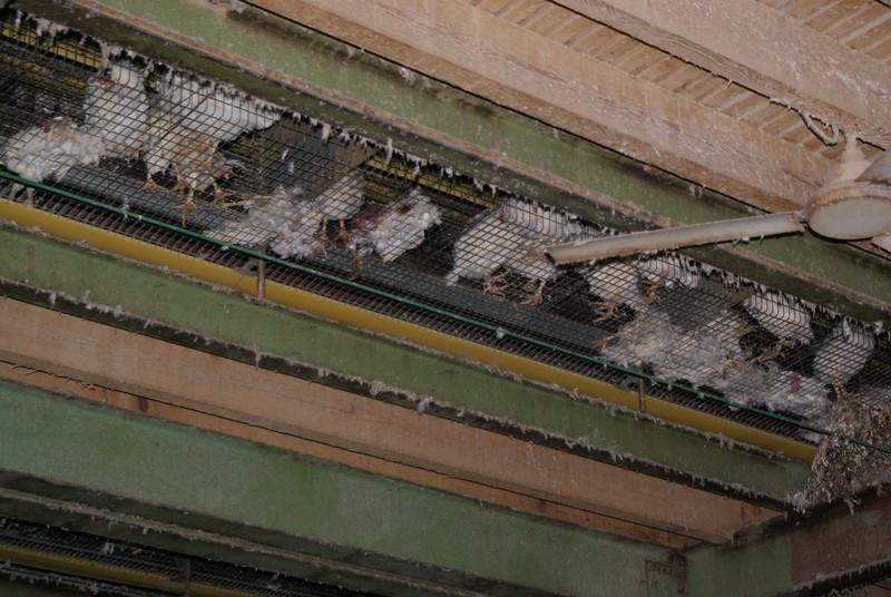 Kingersheim-poules-12.jpeg