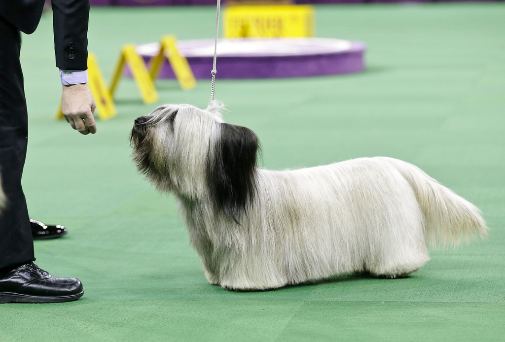 . Charlie, a Skye terrier competes in the terrier group at the Westminster Kennel Club dog show Tuesday, Feb. 17, 2015, in New York. (AP Photo/Frank Franklin II)
