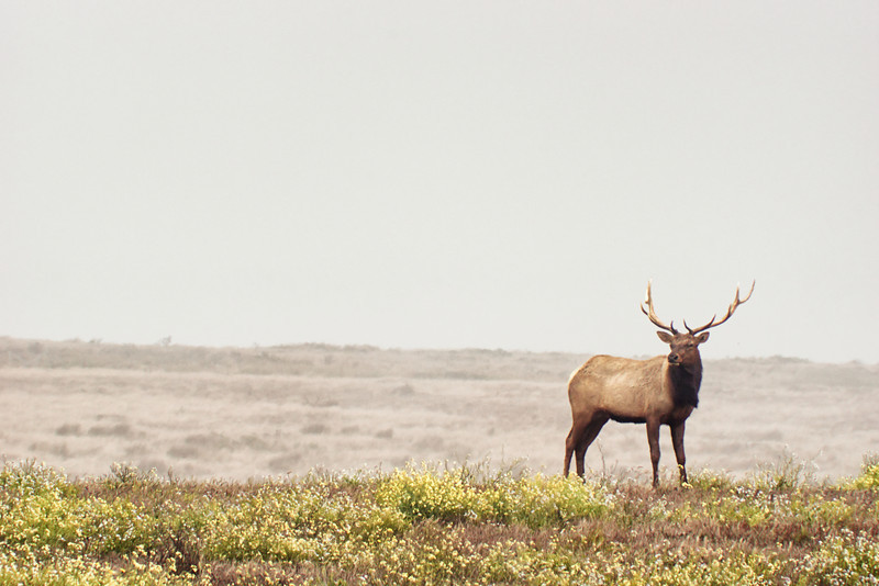 Tule Elk at Point Reyes