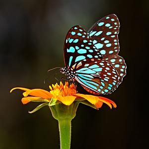 Danaid Tirumala limniace - Blue Tiger / Данаида Тирумала лимниас - Голубой тигр