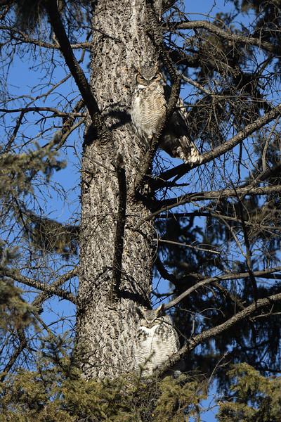 The owl tree
