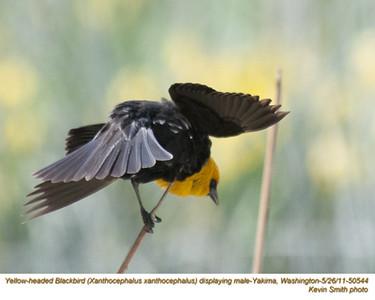 YellowHeadedBlackbirdM50544.jpg