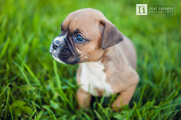 Spencer and Kate Healey - Boxer Puppies