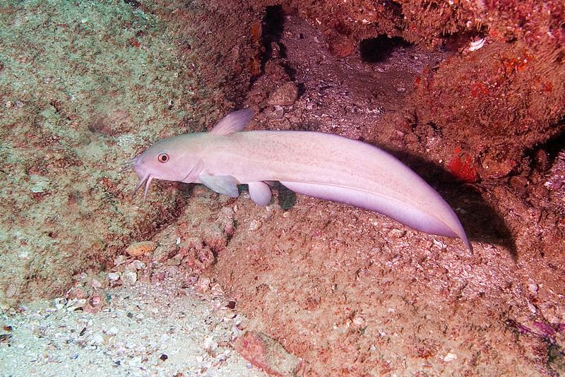 Brochalid Fish 1.jpg