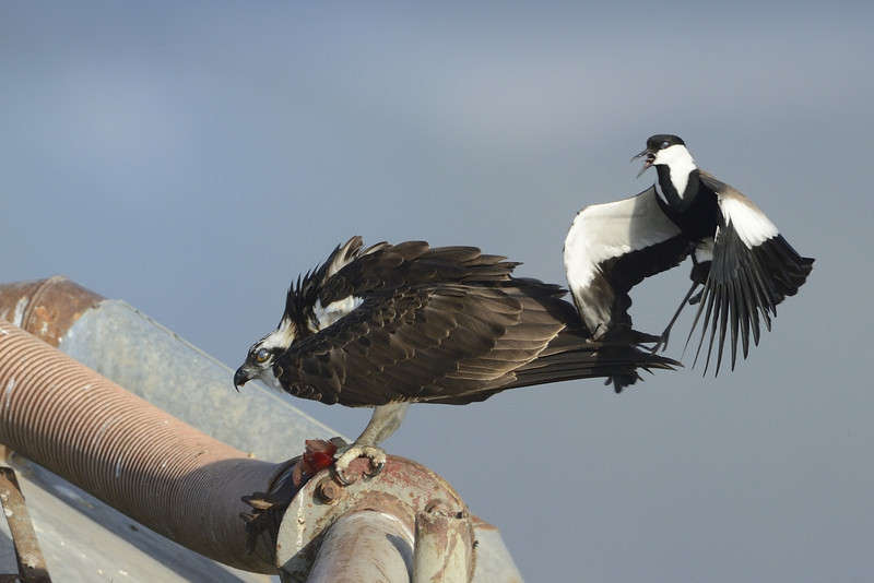 Osprey and SW Lapwing