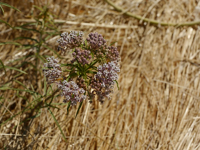 Selected milkweed
