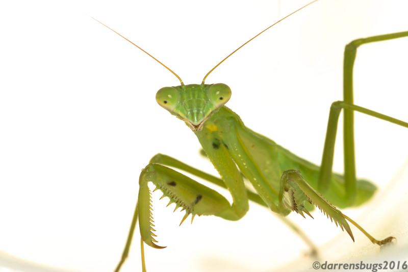 Chinese mantis (Tenodera sinensis) from Iowa.