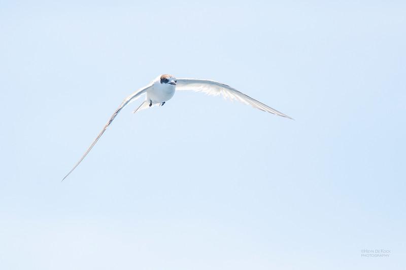 Arctic Tern, Eaglehawk Neck Pelagic, TAS, Dec 2019-3.jpg
