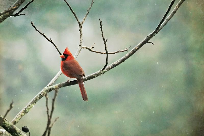 A beautiful cardinal sitting in the rain . . .