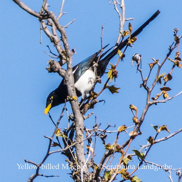 _DSC7636Yellow-billed Magpie.jpg