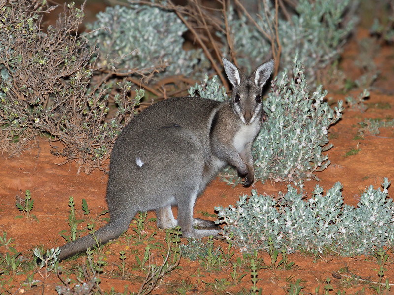 Bridled Nailtail Wallaby
