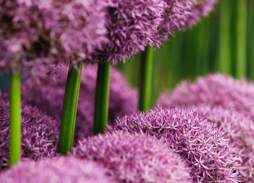. Pinball Wizard Allium are pictured at the Chelsea Flower Show in London May 21, 2013. REUTERS/Luke MacGregor