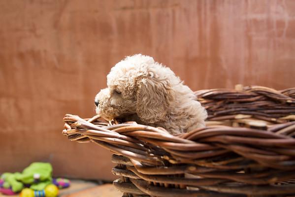 Stella Puppies - 7 weeks