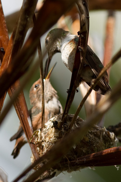 Humming Bird Nest 2010-06-11