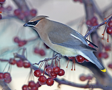 Cedar Waxwings & Robins February  2014