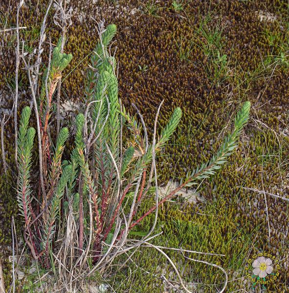 Euphorbe des dunes (Euphorbia paralias)