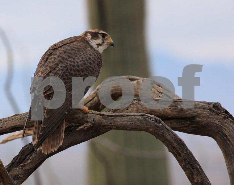 Prairie falcon 6906c.jpg