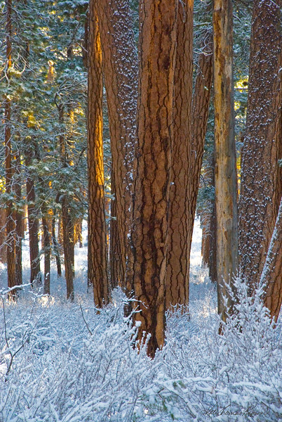 about_black-butte-ranch_winter-ponderosas_KateThomasKeown_DSC0116b.jpg