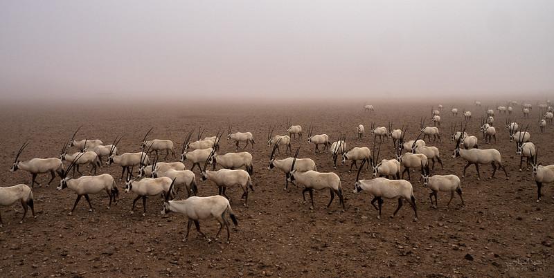 Arabian Oryx (37).jpg