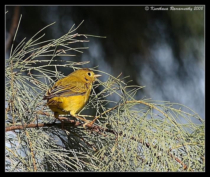 Yellow Warbler, Oceanside, San Diego County, California, December 2008
