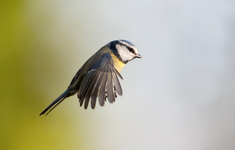 Blue Tit flight 10.jpg