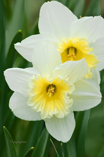 April 8 _ Daffodil Pair_1212.jpg