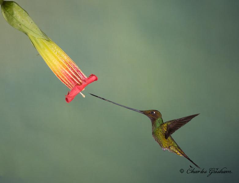 sword-billed hummingbird guango lodge ecuador february 2019.jpg