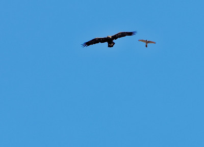 Juvenile bald eagle chased by merlin