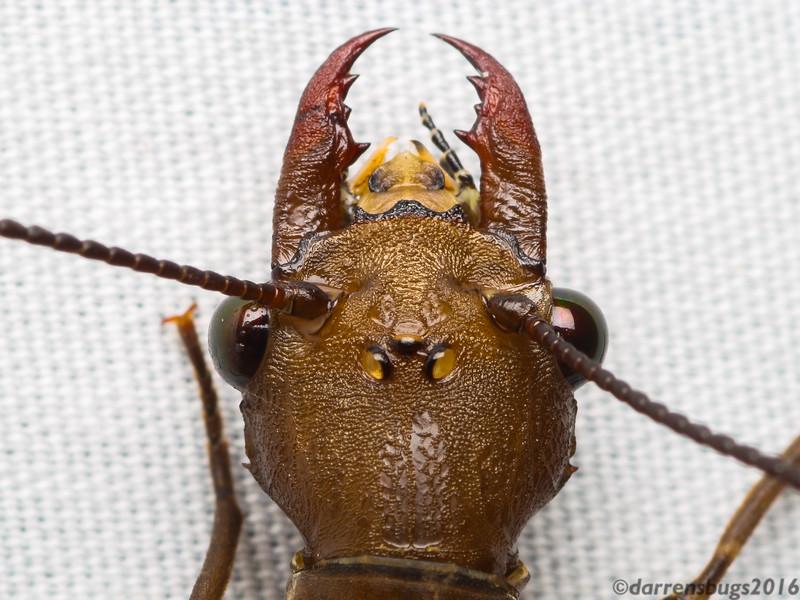 Female Dobsonfly (Corydalidae: genus Corydalus) from Belize.